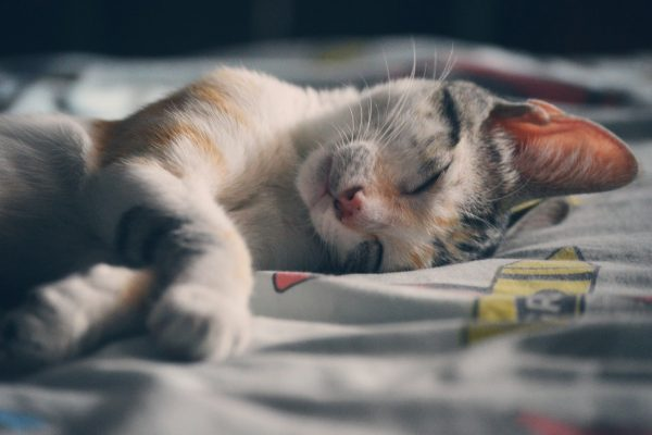 Why You Should Start Get Rid Of Fleas On Your Cat – A Closer Look